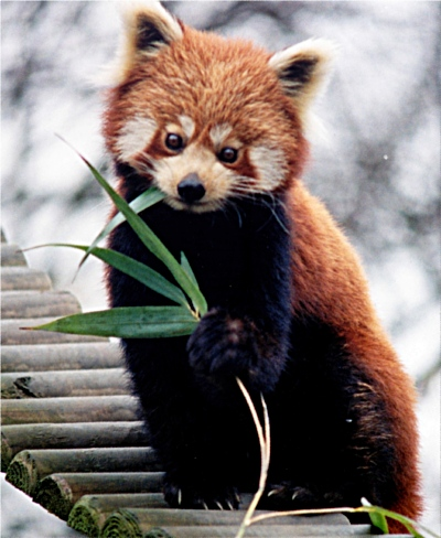 Like the red panda, Buddhism is an endangered species.